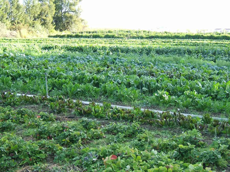 Image of organic agriculture from hajhouse - Wikipedia